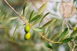 22 olivo