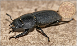45 scarabeo