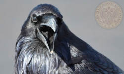 39 corvo